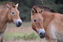 Cavallo di Przewalski in natura Fotografie Stock Libere da Diritti