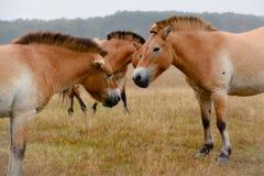 Cavallo di Przewalski in natura Immagine Stock