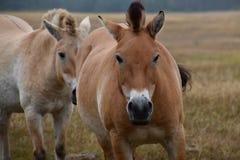 Cavallo di Przewalski in natura Fotografie Stock