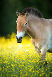 Cavallo di Przewalski su un prato adorabile Immagine Stock