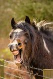 Cavallo di risata di Brown Immagini Stock Libere da Diritti