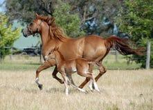 Cavallo di riserva Immagine Stock