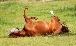 Cavallo di rotolamento Immagini Stock