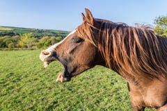Cavallo di sbadiglio dell'arabo della castagna fotografia stock