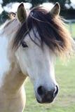 Cavallo di Skwebald Fotografia Stock Libera da Diritti
