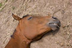 Cavallo di sonno Fotografia Stock Libera da Diritti