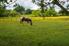 Cavallo di sorveglianza dal nascondersi Immagini Stock