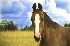 Cavallo di Trakehner Fotografie Stock Libere da Diritti