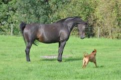Cavallo diritto Fotografia Stock Libera da Diritti