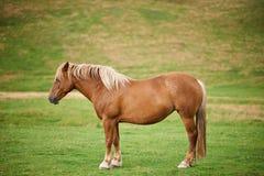 Cavallo diritto isolato Fotografie Stock Libere da Diritti