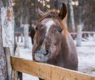 Cavallo diritto isolato Immagini Stock Libere da Diritti
