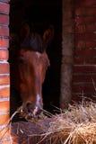 Cavallo diritto isolato Immagine Stock Libera da Diritti