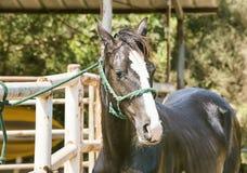 Cavallo diritto isolato Fotografie Stock