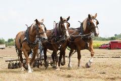 cavallo dissipato dimostrazioni di azienda agricola Immagini Stock