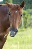 Cavallo divertente Immagine Stock