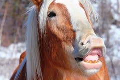 Cavallo divertente del fronte Fotografie Stock
