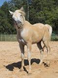 Cavallo divertente della sporcizia Fotografia Stock