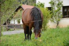 Cavallo domestico sul pascolo del villaggio Fotografia Stock Libera da Diritti