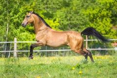 Cavallo dorato di Akhal-teke della baia che gioca sul prato fotografia stock libera da diritti