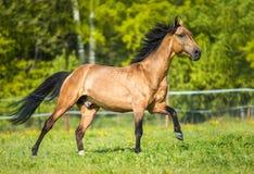 Cavallo dorato di Akhal-teke della baia che gioca sul prato fotografia stock