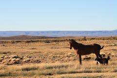 Cavallo e cane Patagonian Fotografia Stock
