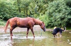 Cavallo e cani in un fiume nell'estate Immagini Stock
