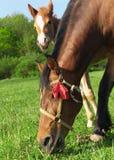 Cavallo e foal Immagini Stock Libere da Diritti