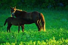 Cavallo e foal Immagini Stock
