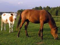Cavallo e mucca Fotografia Stock