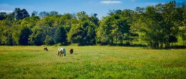 Cavallo e mucche che pascono nel campo immagini stock libere da diritti