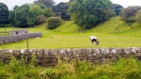 Cavallo e pecore in un campo Immagine Stock