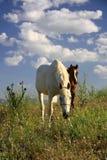 Cavallo e puledro che mangiano insieme erba Immagine Stock