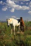 Cavallo e puledro che mangiano insieme erba Immagini Stock Libere da Diritti