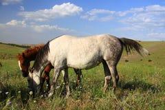 Cavallo e puledro che mangiano insieme erba Fotografia Stock Libera da Diritti