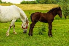 Cavallo e puledro su un prato immagini stock
