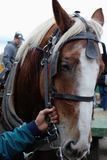Cavallo e una mano costante Fotografia Stock Libera da Diritti