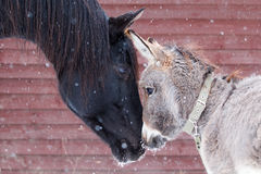 Cavallo ed asino Fotografia Stock Libera da Diritti