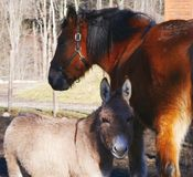 Cavallo ed asino Immagini Stock Libere da Diritti