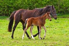 Cavallo ed il foal Fotografia Stock Libera da Diritti