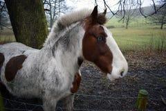 Cavallo Eyed blu Fotografia Stock