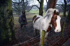 Cavallo Eyed blu Immagine Stock Libera da Diritti