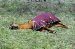 Cavallo faticoso disidratato Fotografie Stock Libere da Diritti