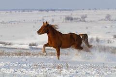 Cavallo fatto funzionare nel campo di neve Fotografie Stock Libere da Diritti