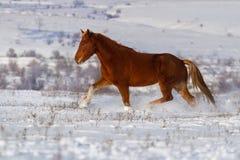 Cavallo fatto funzionare nel campo di neve Fotografie Stock