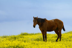 Cavallo fra i fiori fotografia stock