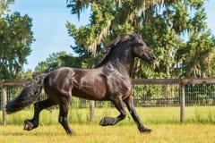 Cavallo frisone Immagini Stock