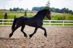 Cavallo frisone corrente Immagine Stock Libera da Diritti