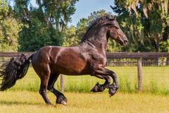 Cavallo frisone/frisone che galoppa nel campo recintato Fotografia Stock Libera da Diritti