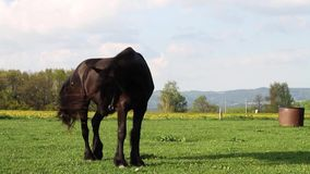 Cavallo frisone nero stock footage