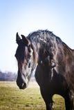 Cavallo frisone sul pascolo Fotografie Stock